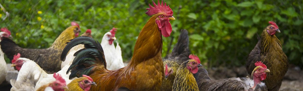 Vente de volailles dans votre Jardinerie Bergon