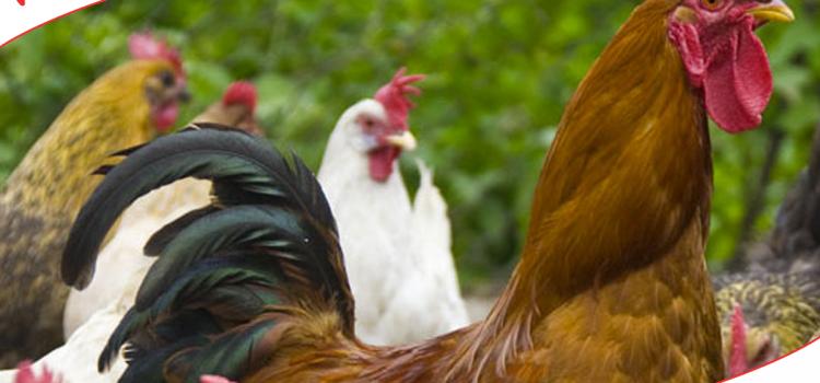 Vente de volailles dans votre jardinerie Bergon, 2016