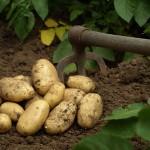 A quelle profondeur faut-il planter la pomme de terre?